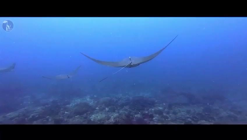Mobula Is A Genus Of Rays In The