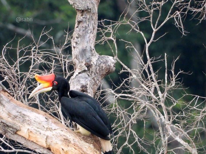 Hornbill @ Enggang Di Taman Negara