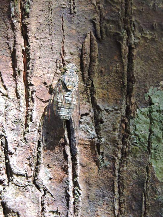 Cicada (riang Riang) Hinggap Di Pokok Meranti.