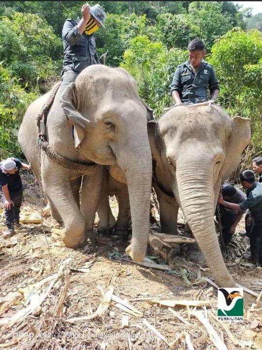 [operasi Pemindahan Gajah Di Kg Sungai Tias, Kuala