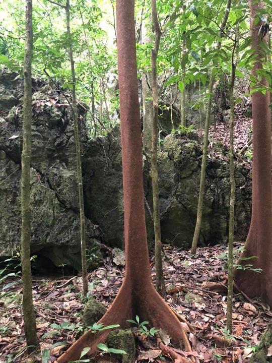 Pokok Merah Terdapat Di Dalam Hutan Kota Gua