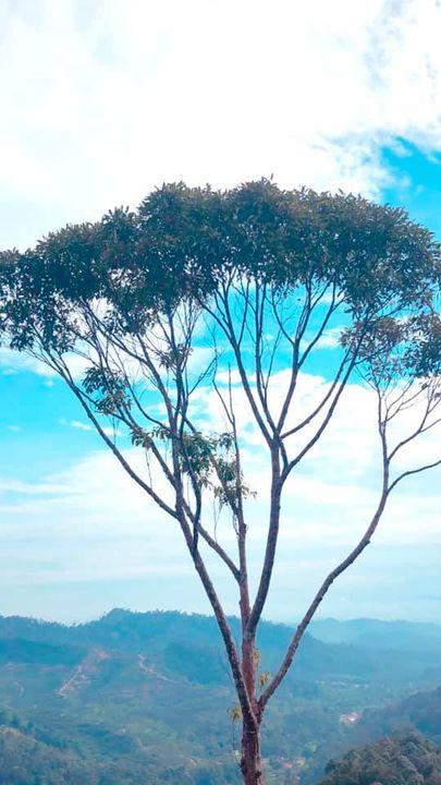 Pokok Ini Terdapat Di Puncak Bukit Panau Di