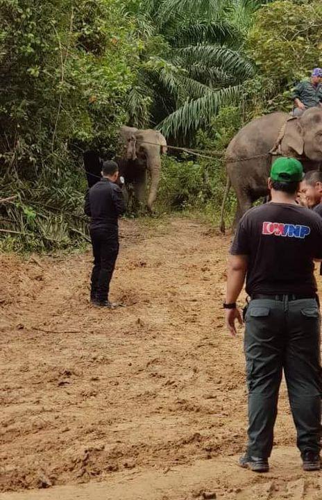 Seekor Gajah Betina Berjaya Dijinakkan Dan Ditangkap Oleh
