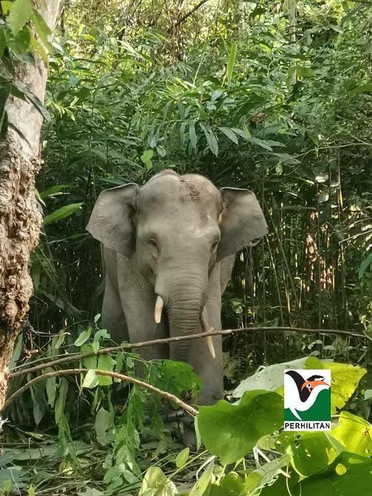 [operasi Tangkapan Seekor Gajah Jantan Di Kg. Air