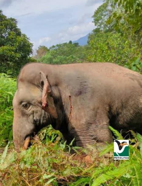 [operasi Tangkapan Seekor Gajah Jantan Di Ladang Espek