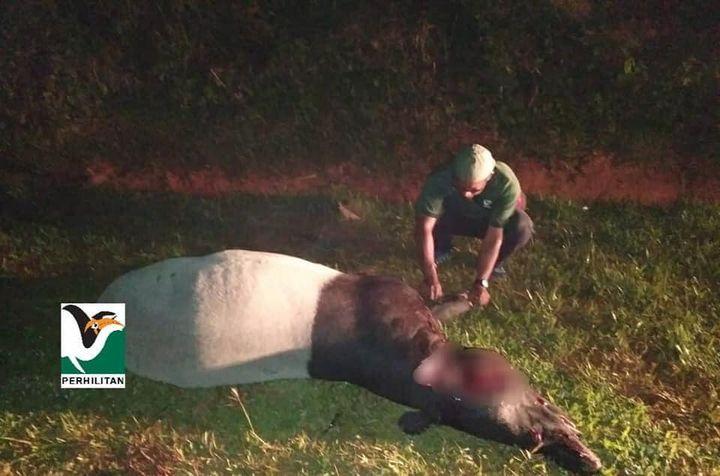 [tapir Malaya Mangsa