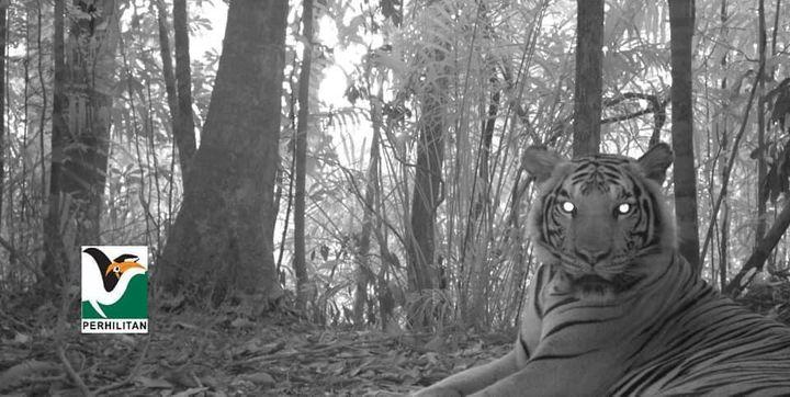 [kempen Selamatkan Harimau Malaya: Keunikan Harimau Malaya]